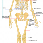 Menschliches Skelett Lösung  zebisch